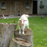 Oh hai Goat!