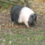 Pot-bellied Pig (Hamlet)